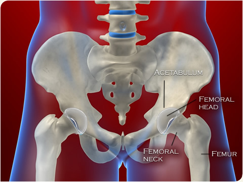480-hip-anatomy.jpg